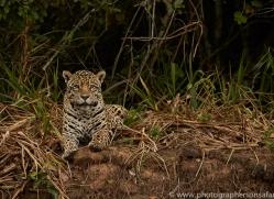 jaguar-copyright-photographers-on-safari-com-7115