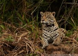 jaguar-copyright-photographers-on-safari-com-7116