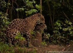 jaguar-copyright-photographers-on-safari-com-7118