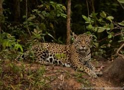jaguar-copyright-photographers-on-safari-com-7120