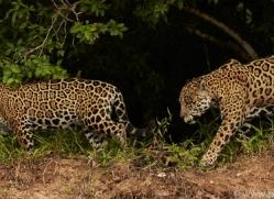 jaguar-copyright-photographers-on-safari-com-7121