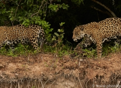 jaguar-copyright-photographers-on-safari-com-7122