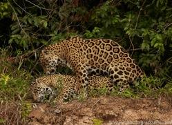 jaguar-copyright-photographers-on-safari-com-7124