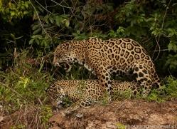 jaguar-copyright-photographers-on-safari-com-7126