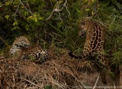 jaguar-copyright-photographers-on-safari-com-7134