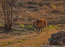 maned-wolf-copyright-photographers-on-safari-com-7153
