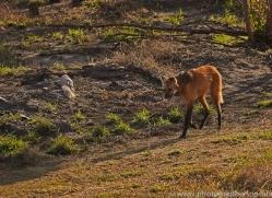 maned-wolf-copyright-photographers-on-safari-com-7154