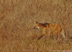 maned-wolf-copyright-photographers-on-safari-com-7158