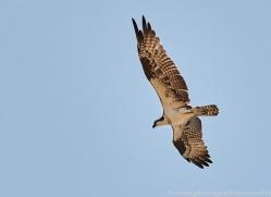 osprey-copyright-photographers-on-safari-com-7240
