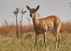 pampas-deer-copyright-photographers-on-safari-com-7185
