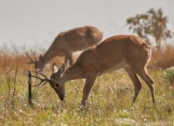 pampas-deer-copyright-photographers-on-safari-com-7186