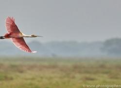 roseate-spoonbill-copyright-photographers-on-safari-com-7249