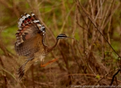 sunbittern-copyright-photographers-on-safari-com-7251