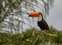 toco-toucan-copyright-photographers-on-safari-com-7252