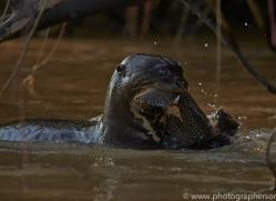 giant river otter-copyright-photographers-on-safari-com-7160