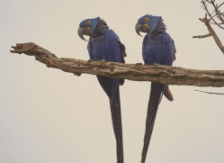 hyacinth macaw-copyright-photographers-on-safari-com-7234