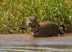 jaguar-copyright-photographers-on-safari-com-7061
