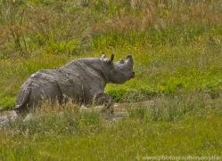 Black Rhino 2014 -1copyright-photographers-on-safari-com