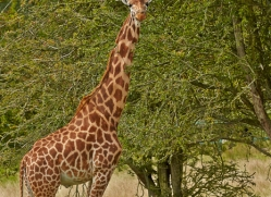 Giraffe 2014 -3copyright-photographers-on-safari-com