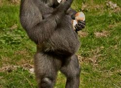 Gorilla 2014 -11copyright-photographers-on-safari-com