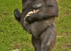 Gorilla 2014 -15copyright-photographers-on-safari-com