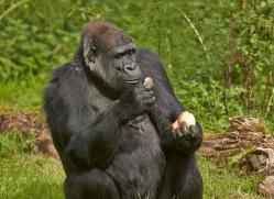 Gorilla 2014 -16copyright-photographers-on-safari-com