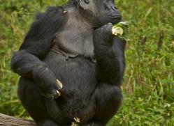 Gorilla 2014 -17copyright-photographers-on-safari-com