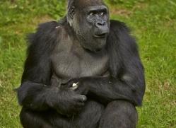 Gorilla 2014 -18copyright-photographers-on-safari-com