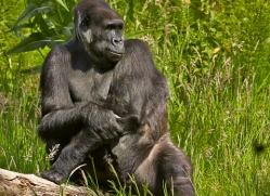 Gorilla 2014 -1copyright-photographers-on-safari-com
