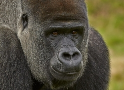 Gorilla 2014 -21copyright-photographers-on-safari-com