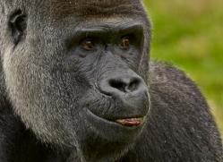 Gorilla 2014 -27copyright-photographers-on-safari-com