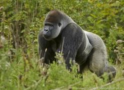 Gorilla 2014 -32copyright-photographers-on-safari-com