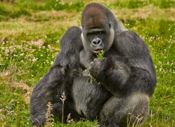 Gorilla 2014 -6copyright-photographers-on-safari-com