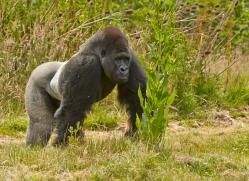 Gorilla 2014 -7copyright-photographers-on-safari-com