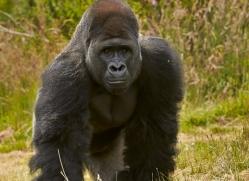 Gorilla 2014 -8copyright-photographers-on-safari-com