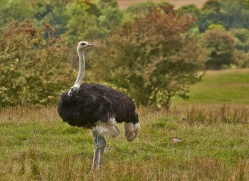 Ostrich 2014 -2copyright-photographers-on-safari-com