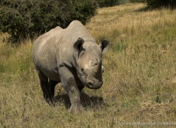 black-rhino-port-lympne-2231-copyright-photographers-on-safari-com