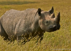 black-rhino-port-lympne-2232-copyright-photographers-on-safari-com