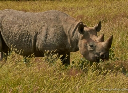 black-rhino-port-lympne-2234-copyright-photographers-on-safari-com