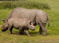 black-rhino-port-lympne-2238-copyright-photographers-on-safari-com