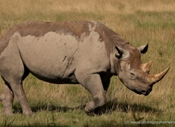 black-rhino-port-lympne-2239-copyright-photographers-on-safari-com