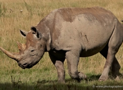 black-rhino-port-lympne-2240-copyright-photographers-on-safari-com