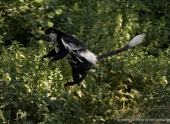 colobus-monkey-port-lympne-2217-copyright-photographers-on-safari-com