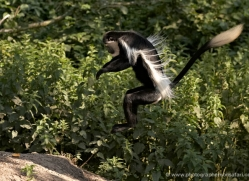 colobus-monkey-port-lympne-2218-copyright-photographers-on-safari-com