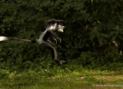 colobus-monkey-port-lympne-2220-copyright-photographers-on-safari-com