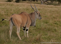 eland-port-lympne-2253-copyright-photographers-on-safari-com