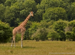 giraffe-port-lympne-2241-copyright-photographers-on-safari-com