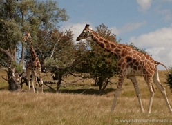 giraffe-port-lympne-2242-copyright-photographers-on-safari-com