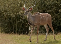kudu-port-lympne-2257-copyright-photographers-on-safari-com