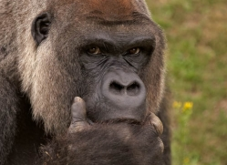 lowland-gorilla-port-lympne-2260-copyright-photographers-on-safari-com